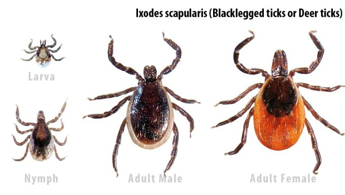 Ixodes_scapularis