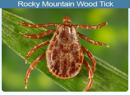 rocky-mountain-wood-tick